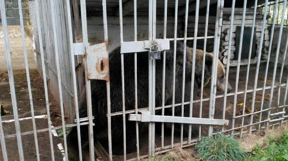 ВПермском крае собирают деньги для выкупа медведицы— Спасти Умку