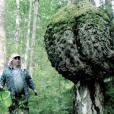 В Чайковском найден «Ведьмин веник»